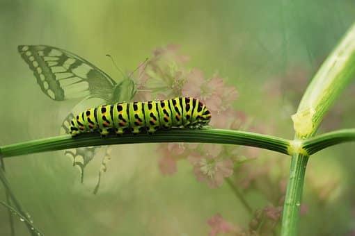 Eine Raupe wird zum Schmetterling